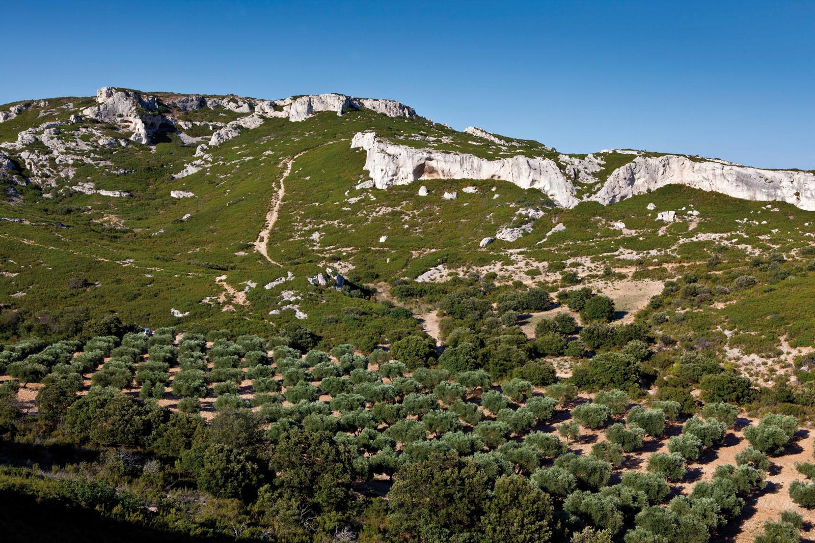 L'oliveraie du Château Calissanne